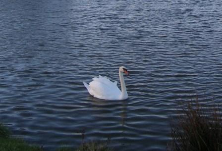 Buckley Common (Swan)