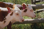 cattle-one of a number of animal hosts of E. coli O157
